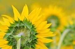Dra tillbaka av en gul solros Royaltyfri Fotografi