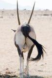 Dra tillbaka av en oryxantilop Arkivbilder