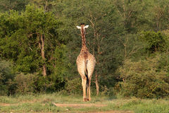 Dra tillbaka av giraff Royaltyfria Foton