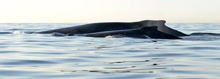 Dra tillbaka av moder för puckelryggval och behandla som ett barn gröngölingen Val som simmar i Stilla havetvattnet Arkivbild