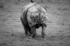 Dra tillbaka av noshörning Fotografering för Bildbyråer