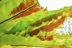 Dra tillbaka av ormbunkeregulatorn med det gröna bladet Arkivfoto