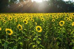 Dra tillbaka av solrosor Arkivbilder