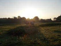 Dra tillbaka för att dra tillbaka cattles Fotografering för Bildbyråer