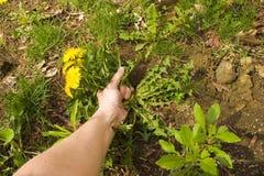 dra weeds Arkivbilder