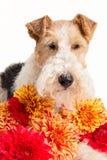 Draadfox-terrier Stock Afbeelding