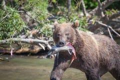 Draag grizzly etend de zalmclose-up van visserijvissen in het meer stock fotografie