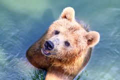 Draag, Grizzly in water stock fotografie