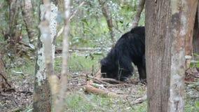Draag in het bos groot in grootte, Insecten en honing eet in wilpttu nationl park in Sri Lanka stock video
