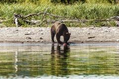 Draag in Kamchatka Een bruine beer in het water in Kamchatka, Rusland royalty-vrije stock afbeelding