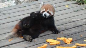 Draag kat (rode panda) Royalty-vrije Stock Afbeelding