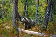 Draag verborgen in gele bos de Herfstbomen met beer Mooie bruin draagt lopend rond meer met dalingskleuren Gevaarlijk dier royalty-vrije stock afbeelding