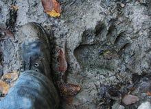 Draag voetafdruk met het menselijke voet vergelijken Het spoor van de beer in modder me royalty-vrije stock afbeeldingen
