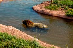 Draag zwemmend in de vijver in het Park van de Beerprovincie, Snelle Stad, BR, de V.S. stock fotografie