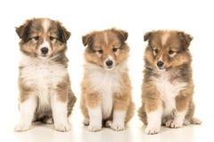 Draagstoel van drie honden die van het de herdershondpuppy van Shetland naast eac zitten Stock Afbeelding