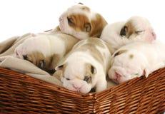 Draagstoel van puppy Royalty-vrije Stock Foto