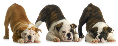 Draagstoel van puppy stock foto's