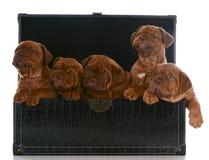 Draagstoel van puppy stock foto