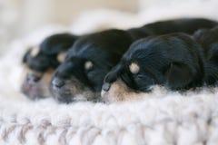 Draagstoel van Schnauzer-puppy Stock Afbeelding