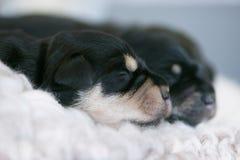 Draagstoel van Schnauzer-puppy Royalty-vrije Stock Fotografie
