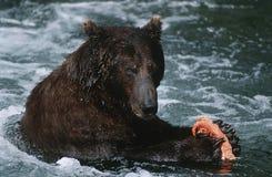 Draagt het Nationale Bruine Park van de V.S. Alaska Katmai voedend op zalm in rivier stock foto