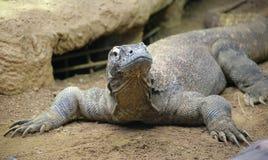 Draak 4 van Komodo royalty-vrije stock foto's