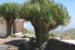 Draakbomen bij Canarische Eilanden, Spanje stock afbeelding