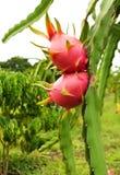 Draakfruit op tuin Royalty-vrije Stock Fotografie