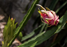 Draakfruit of pitaya rijp in de aanplanting Hylocercus undat Stock Fotografie