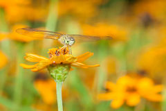 Draakvlieg die op oranje bloem rusten Stock Foto