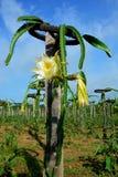 Draakvruchten bloem royalty-vrije stock afbeelding