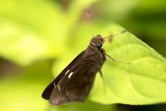 Drab color tropical butterfly closeup on green tree leave with light background.  royalty free stock photos