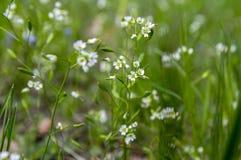 Draba verna小组早期的在绽放的春天微小的白色野花 免版税图库摄影