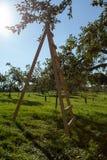 Drabina w jabłczanym sadzie Zdjęcia Royalty Free