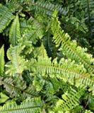 drabinowe krzewów Fotografia Stock