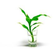 Dracaena braunii plants in flower glass Royalty Free Stock Photo