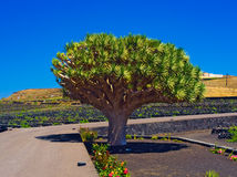 Dracaena draco, the Canary Islands dragon tree, is a subtropical tree-like plant in the genus Dracaena, native to the Canary Islan Royalty Free Stock Photography