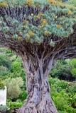 Dracaena draco, Dragon Tree - Canar Stock Photo