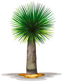 Dracaena draco Royalty Free Stock Images