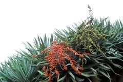 dracaena draco smoka drzewo zdjęcia royalty free
