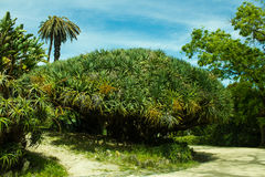 Dracaena, Dragon tree, botanic. Dracaena, with the common name Dragon tree,  is a genus of about 40 species of trees and succulent shrubs. it is placed in the Royalty Free Stock Photo