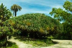 Dracaena draketräd som är botaniskt Royaltyfri Foto