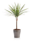 Dracaena in a flower pot Royalty Free Stock Image