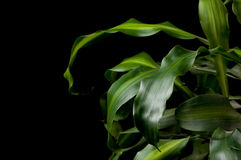 Dracaena fragrans Stock Images