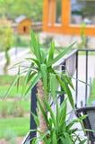 Dracaena fragrans. Additional Common Names: Corn Plant, Cornstalk Plant, Dracaena, Dragon Tree, Ribbon Plant growing in the garden Royalty Free Stock Image