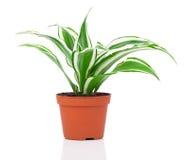 Dracaena fragrans (cornstalk dracaena) Obrazy Stock
