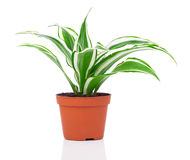 Dracaena fragrans (cornstalk dracaena). Isolated on a white background Stock Images