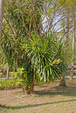 Dracaena fragrans cornstalk dracaena in the natural environmen. Other English names include striped dracaena, corn plant, Chinese money tree, and fortune plant Royalty Free Stock Photo
