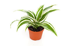 Dracaena fragrans (cornstalk dracaena). On a white background Royalty Free Stock Photography