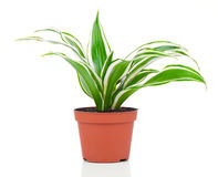 Dracaena fragrans (cornstalk dracaena). On a white background Stock Images